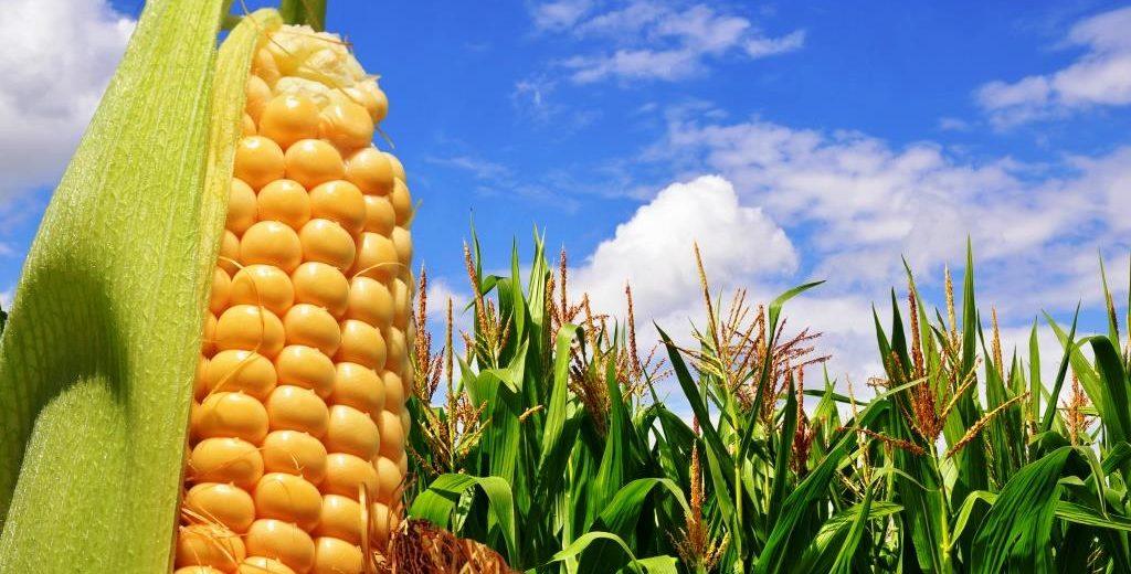 Contrato Futuro de Milho